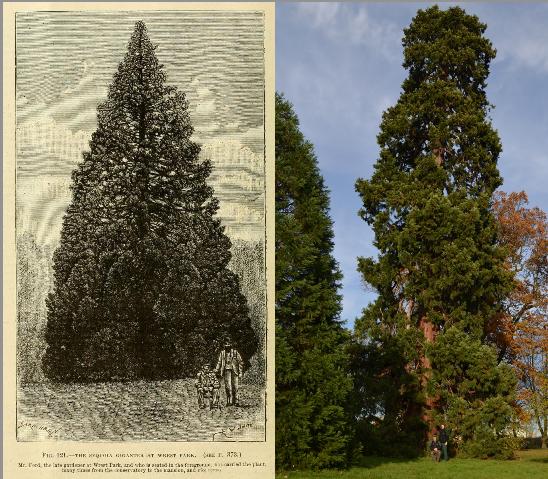 Sequoia Gigantea at Wrest Park